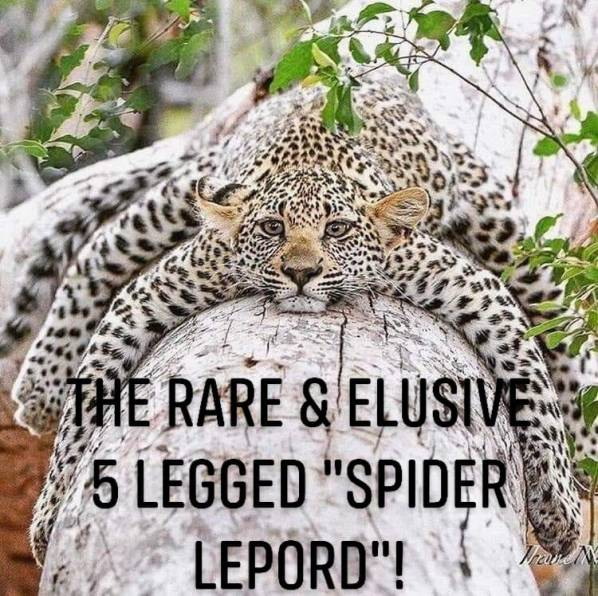 spider leopard